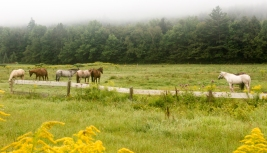Horses being lazy on a foggy morning in Stowe, VT.